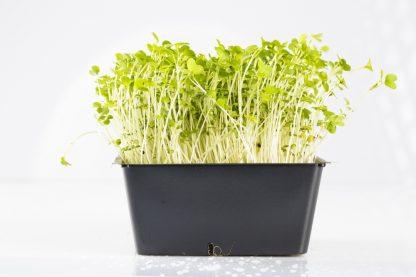 Microgreen im Topf Brokkoligrün. Mikrogrün gesund und lecker.