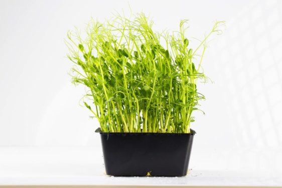 Microgreen im Topf Erbsengrün. Mikrogrün gesund und lecker.