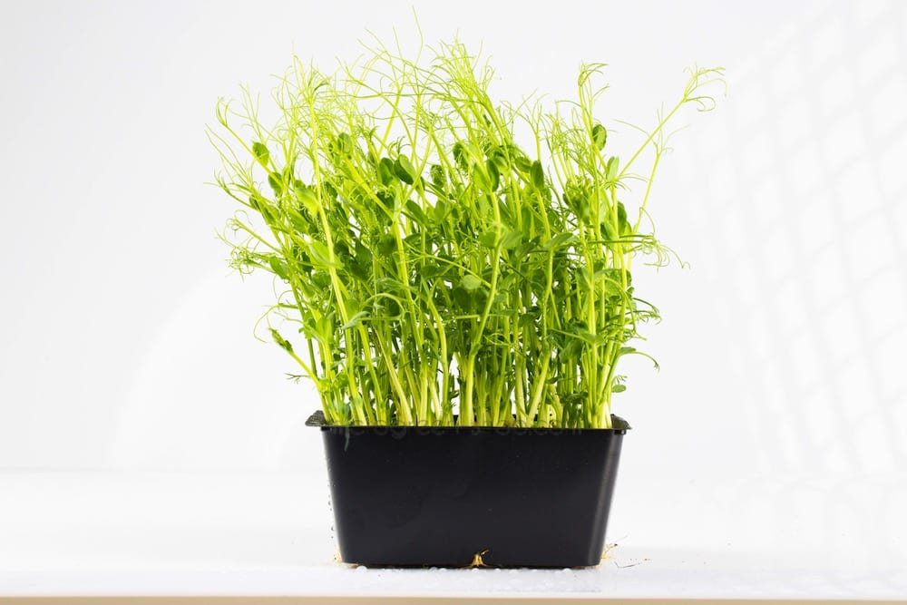 Microgreen in the pot pea green. Microgreen healthy and tasty.