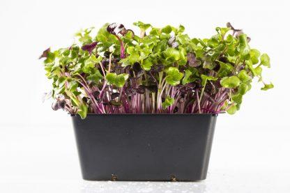 Microgreen im Topf Radieschengrün. Mikrogrün gesund und lecker.