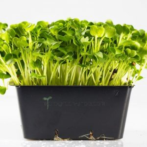 Microgreen im Topf Rettichgrün. Mikrogrün gesund und lecker.