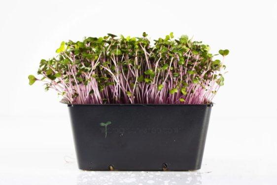 Microgreen im Topf Rotkohlgrün. Mikrogrün gesund und lecker.