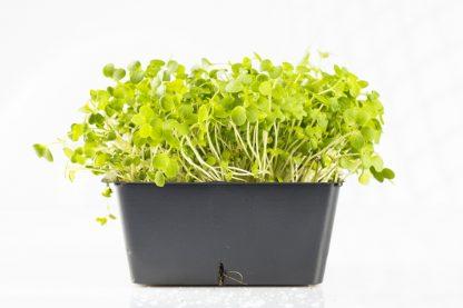 Microgreen im Topf Senfgrün. Mikrogrün gesund und lecker.