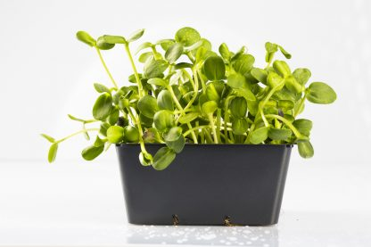 Microgreen im Topf Sonnenblumengrün. Mikrogrün gesund und lecker.