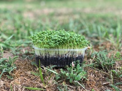 Kressegrün aus Bio-Saatgut Kresse