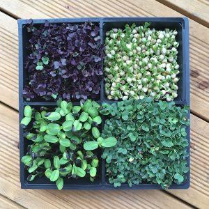 Microgreen-Starterpakete