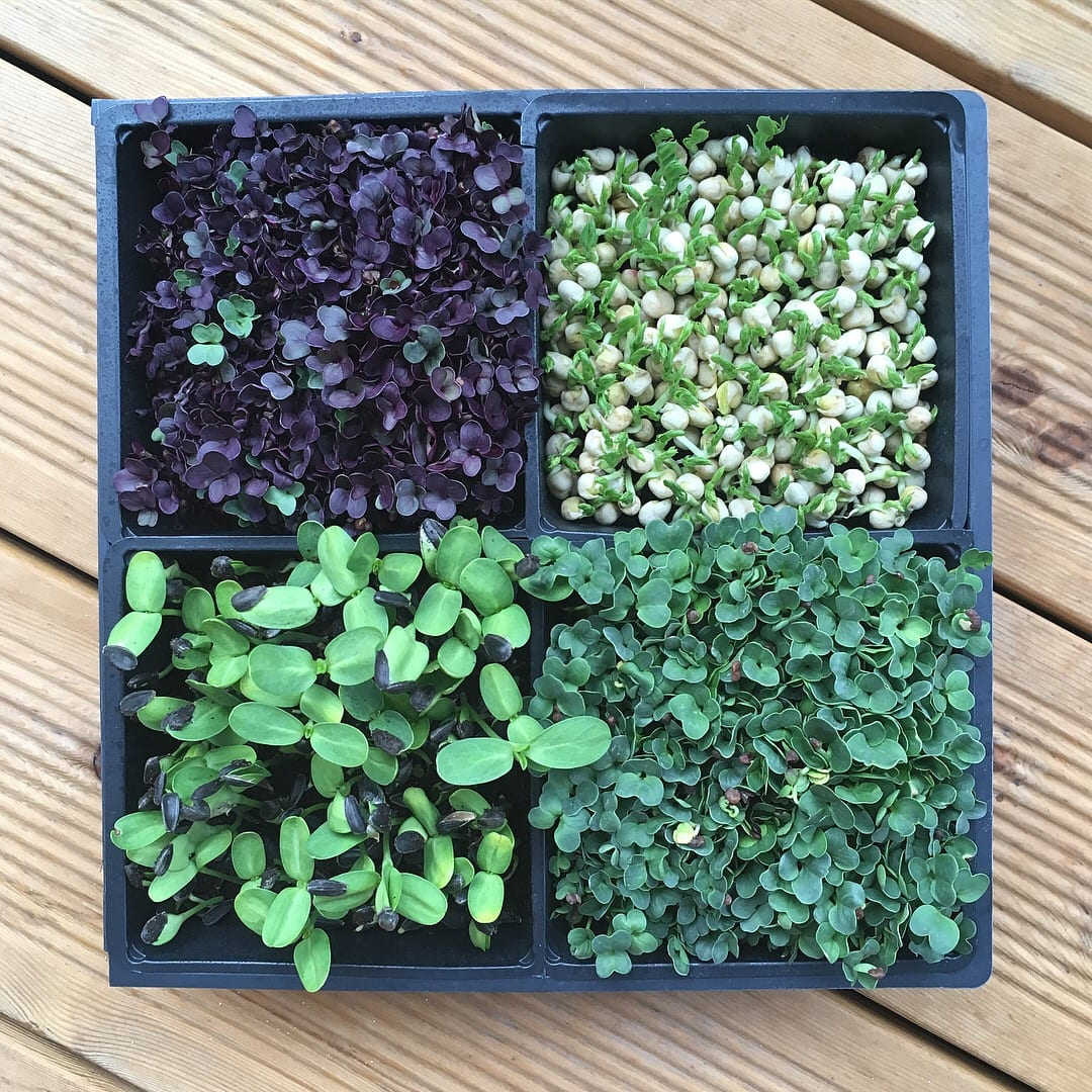Microgreen Anbau