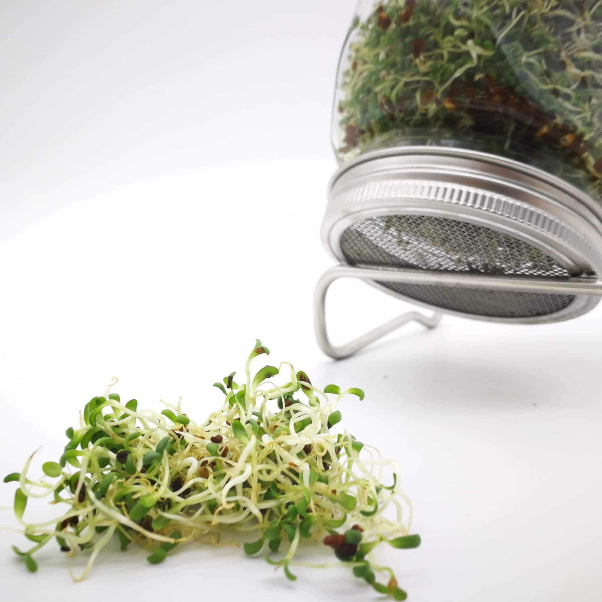 Bio-Sprossen Alfalfa angebaut im Sprossenglas