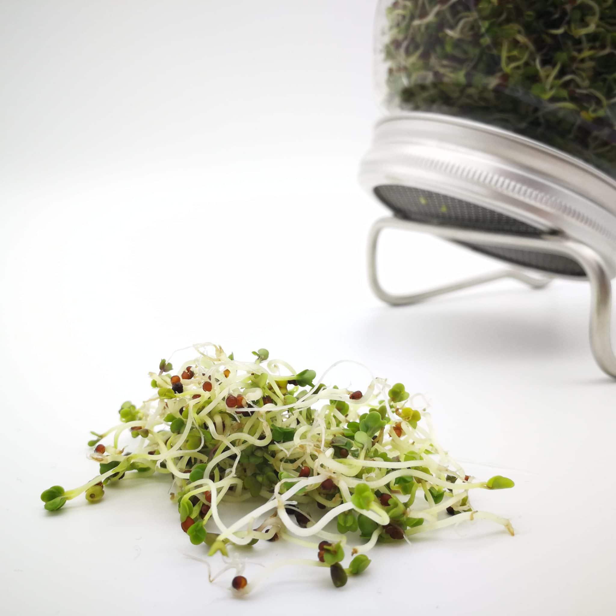 Bio-Sprossen Brokkoli angebaut im Sprossenglas