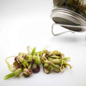 Bio-Sprossen Mungobohnen angebaut im Sprossenglas