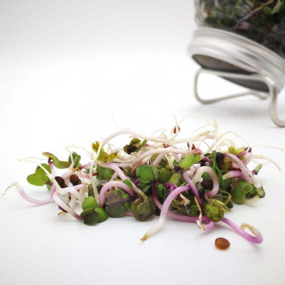 Bio-Sprossen Radieschen angebaut im Sprossenglas