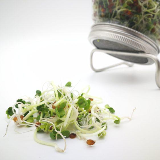 Bio-Sprossen Rettich angebaut im Sprossenglas