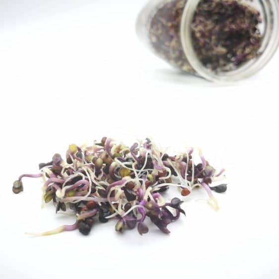 Bio-Sprossen Rotkohl angebaut im Sprossenglas