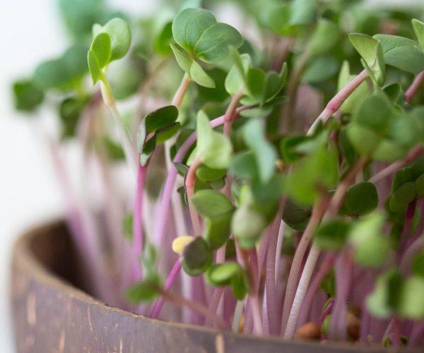 Grow-Grow Nut mit Radieschen Microgreens - Nahansicht